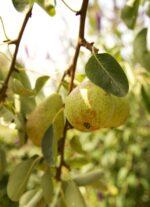 《8月7日》東近江市八日市・かなめカフェにて「梨作り名人 福永さんの梨祭り」開催♪
