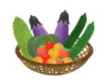 《野菜がなくなり次第終了》美味しい夏野菜を収穫してみよう!日野町のブルーメの丘では「夏野菜収穫体験」が開催中!